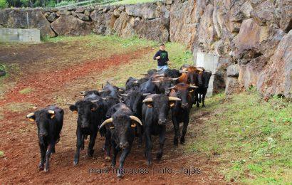 FERRA NA GANADARIA ÁLVARO AMARANTE – ILHA DE SÃO JORGE. (reportagem fotográfica)