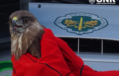 GNR faz recuperação de duas aves de rapina (milhafres) – Ilha de São Miguel