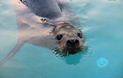 Foca resgatada na Ilha de São Jorge é hoje devolvida ao seu habitat natural