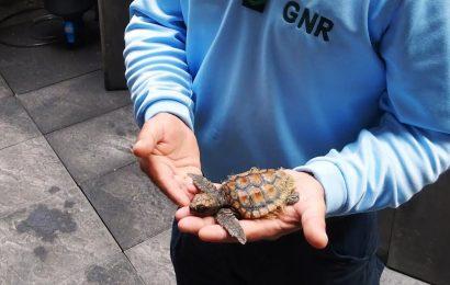 GNR faz recuperação de tartaruga em perigo de extinção – Ilha do Faial