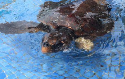 Tartaruga devolvida ao meio natural – Ilha de Santa Maria