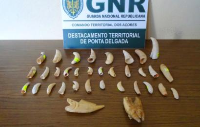 GNR apreende 34 dentes de mamíferos (cetáceos) – Ponta Delgada – Ilha de São Miguel