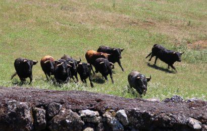APARTAR DOS TOUROS – GANADARIA ÁLVARO AMARANTE – Ilha de São Jorge (c/ reportagem fotográfica)
