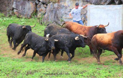 APARTAR TOUROS PUROS – GANADARIA ÁLVARO AMARANTE – Ilha de São Jorge (c/ reportagem fotográfica)