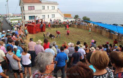 VACADA NA FAJÃ GRANDE – CALHETA – Ilha de São Jorge (c/ vídeo)