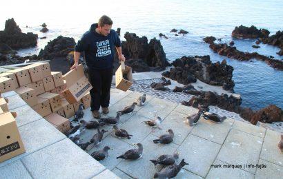 Campanha SOS Cagarro 2017 decorre nos Açores até 15 de novembro