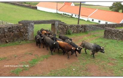 GANADARIA ÁLVARO AMARANTE – APARTAR DOS TOUROS – Ilha de São Jorge (c/ vídeo)