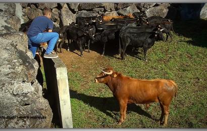 JOVENS AFICIONADOS NA FERRA DA GANADARIA ÁLVARO AMARANTE – Figueiras – Rosais – Ilha de São Jorge (c/ vídeo)