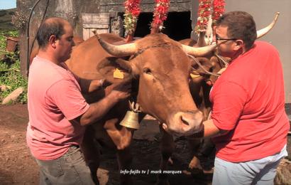 PREPARAÇÃO PARA O CORTEJO DE JUNTAS DE BOIS E VACAS – Santo Antão – Ilha de São Jorge (c/ vídeo)