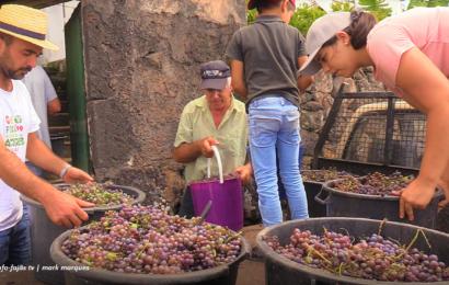 VINDIMA NA FAJÃ DE SÃO JOÃO, com a família Bettencourt – Ilha de São Jorge (c/ vídeo)